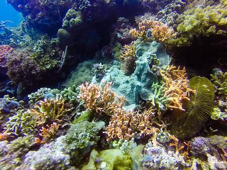 Small fire corals