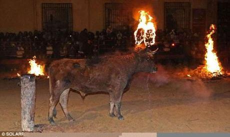 Spain and Western gory face ~ Toro Jubilo - bull burning festival