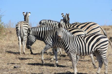 DAILY PHOTO: Why the Zebra Has Stripes
