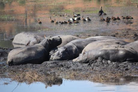 DAILY PHOTO: Napping Hippos