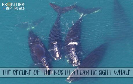 The Decline of the North Atlantic Right Whale