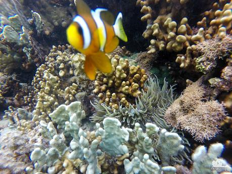 Clownfish and Anemone at Digyo Island Marine Sanctuary