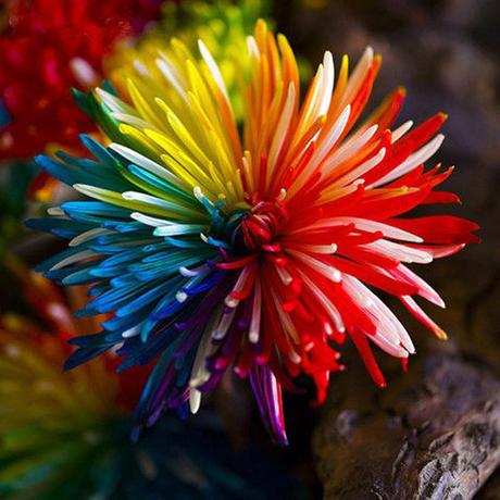 Rainbow Chrysanthemum Seeds