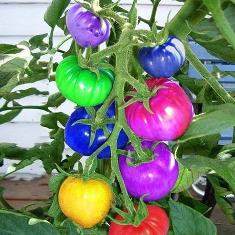 Rainbow Tomato Seeds
