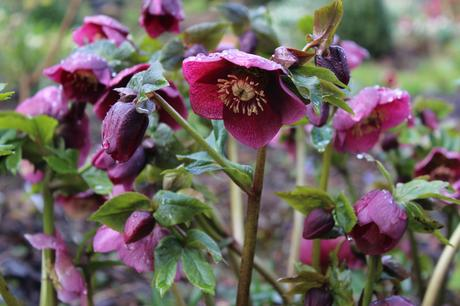 Its all about the hellebores – GBBD March '18