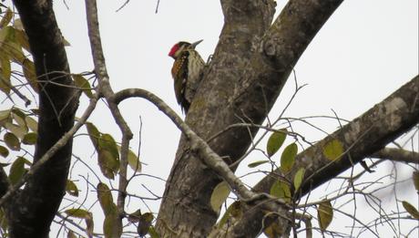 Black-rumped flameback woodpecker at Suhelwa