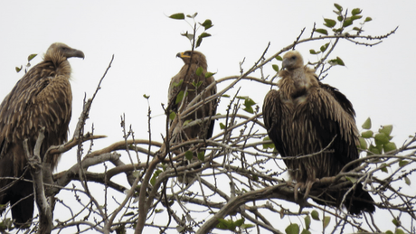 Vultures and a serpent eagle at Suhelwa