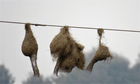 Baya weaver bird nests