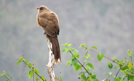 The Sirkeer Malkoha at Suhelwa