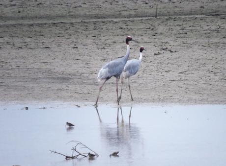 Sarus crane at Suhelwa