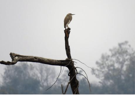 Pond heron in Suhelwa