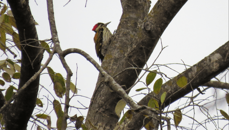 Black-rumped flameback woodpecker at Suhelwa