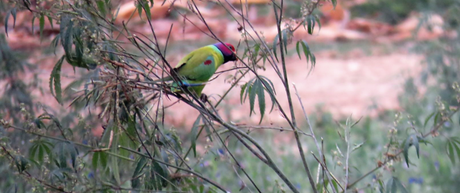 Plum headed parakeet at Suhelwa