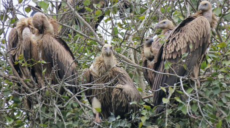 A committee of vultures at Suhelwa