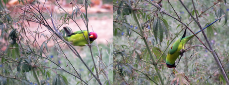 Plum headed parakeets in action in Suhelwa