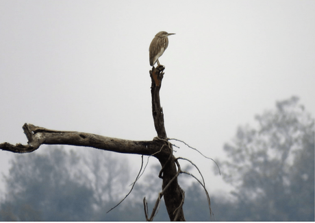 Pond heron in Suhelwa