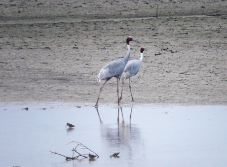 Sarus crane at Suhelwa