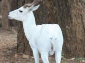 DAILY PHOTO: White Deer Mysore