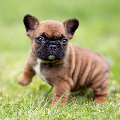 French bulldog puppy dies in the luggage compartment