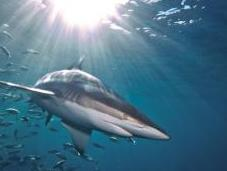 Predicting Sustainable Shark Harvests When Stock Assessments Lacking
