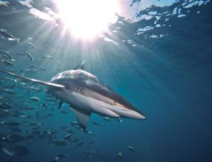 Predicting sustainable shark harvests when stock assessments are lacking