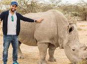 Death Sudan Curtains Northern White Rhinoceros (Ceratotherium Simum Cottoni)