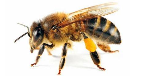 Image result for Honeybees