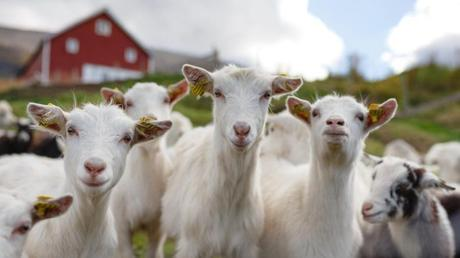 Image result for young goats