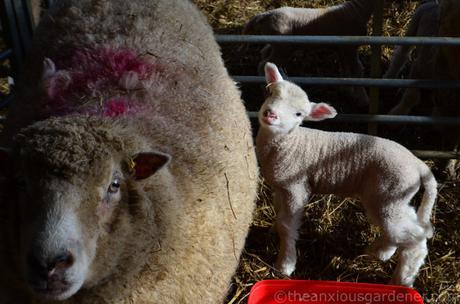 Reblogging: Lambing