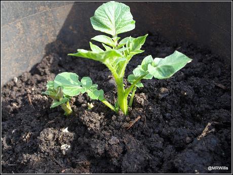 Earthing-up my potatoes