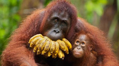 Iceland bans palm oil products in super markets ~ Saving Orangutans