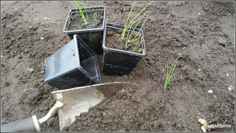 Planting onions and shallots