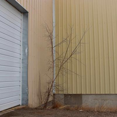 Hints of Spring while the Boxelder Waits