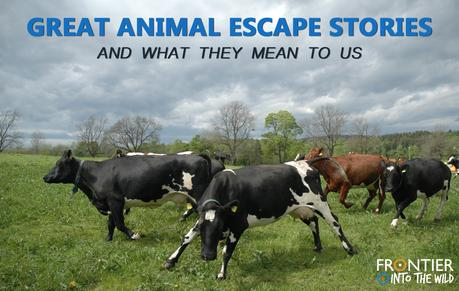 Great Animal Escape Stories - And What They Mean To Us