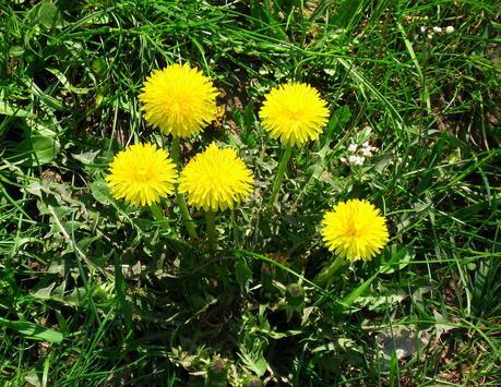 dandelions_Florida Weed Types