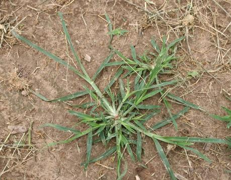 Goosegrass_Florida Weed Types