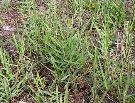 Torpedo Grass_Florida Weed Types