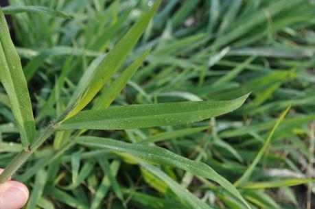 Crabgrass_Florida Weed Types