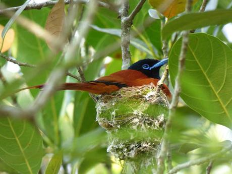 Red-bellied paradise flycatcher on nest, Sunbird Hill