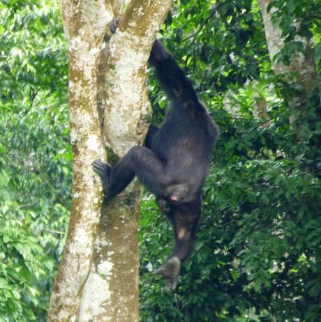 chimpanzee climbing down tree, Kibale Forest Sunbird Hill