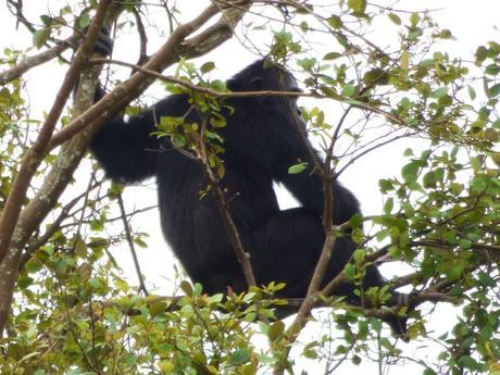 chimpanzee Kibale Forest Sunbird Hill