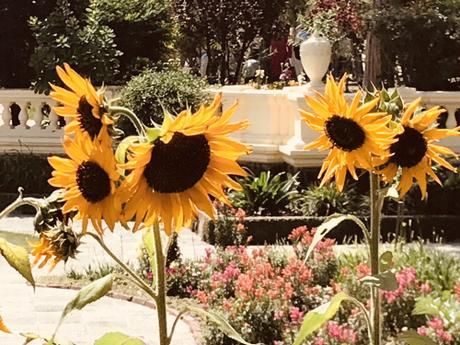 DAILY PHOTO: Sunflowers in Garden of Dreams
