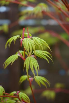 Acer coming into full leaf - Carrie Gault - https://growourown.blogspot.co.uk/