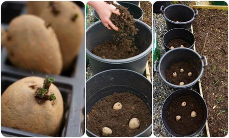 growing spuds in tubs - Carrie Gault - https://growourown.blogspot.co.uk/