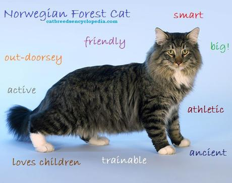 Norwegian Forest Cat – Everything you should know about this cats