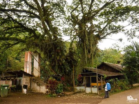 Old Acacia tree