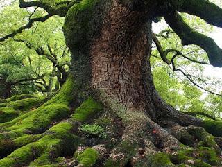 Old Trees Die Standing