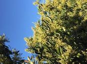 Avocado Trees Blooming!