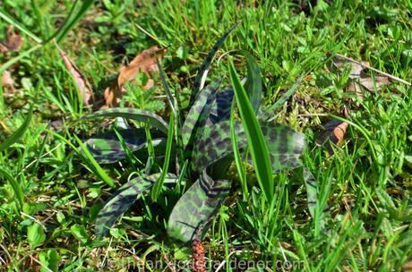 Fritillaria Meleagris – The Snake's Head Fritillary