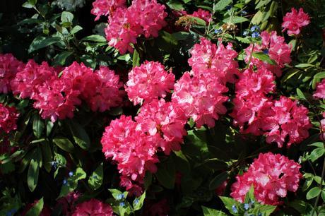 Rhododendron Yakushimanum 'Happy'